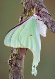 Luna Moth. A newly emerged Luna moth is hanging from a branch Royalty Free Stock Images