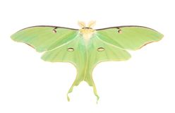Luna Moth. (actias luna) isolated on white royalty free stock images