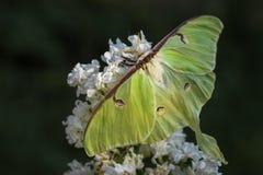 Luna Moth - Actias luna fotos de stock