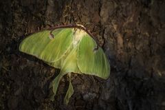 Luna Moth - Actias luna. Beautiful large green moth from New World forests royalty free stock photography
