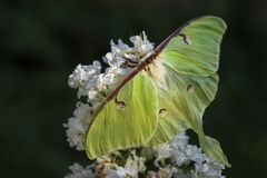 Luna Moth - Actias luna. Beautiful large green moth from New World forests stock photos