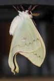 Luna Moth Actias luna. Just emerging from a chrysalis Stock Photo