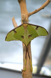 The luna moth (Actias luna). On the tree branch stock photo