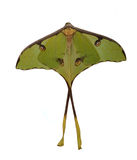 The luna moth (Actias luna) Stock Images