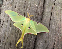 Luna Moth, Actias luna. On side of a tree Stock Photo