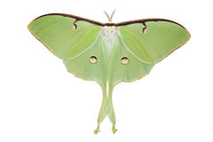 Luna Moth (Actias luna). Isolated Luna Moth ((Actias luna) over white background Royalty Free Stock Photo