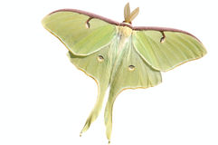 Luna Moth (Actias luna). A live large, nocturnal Luna moth (Actias luna) Splendid specimen with wings spread showing the eyespots. Isolated. 12MP camera Royalty Free Stock Images