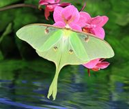 Luna Moth (Actias luna). A beautiful Luna moth at pink orchids over a water garden stock photography