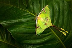 Luna moth, Actias luna, beautiful yellow green butterfly from Florida, USA. Big colourful insect nature vegetation, butterfly sitt. Ing on the leave stock image