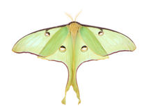 Luna Moth, Actias luna, isolated Royalty Free Stock Photo