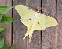 Luna moth, Actias luna Stock Image