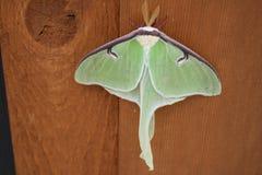Luna Moth al parco di stato della testa dell'orso, Ely, Minnesota fotografie stock libere da diritti