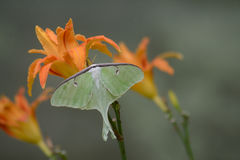 Luna Moth bonita que senta-se no hemerocallis alaranjado fotografia de stock royalty free