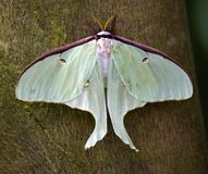 Luna Moth Butterfly. Actias luna saturnidae green yellow, close up macro royalty free stock images