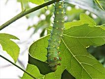 Luna moth caterpillar Stock Images
