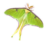 Luna Moth with Clipping Path Stock Photos