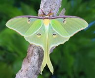 Luna Moth Close- up. Close- up view of a beautiful Luna moth on forest bark stock photography
