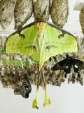 Luna Moth Emerged from Chrysalis and Suspended to Dry Out. A lime green colored Luna moth just emerged from its chrysalis and is hanging on to it until its wings stock image