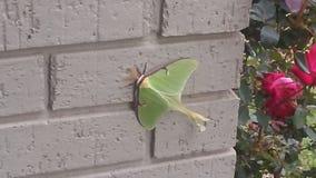 Luna Moth féminine au repos photos stock