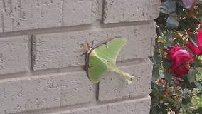 Luna Moth fêmea em repouso fotos de stock