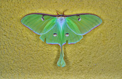 Luna Moth. A female luna Moth on a yellow painted wall royalty free stock photos