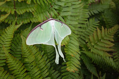 Luna moth on ferns wings opened Royalty Free Stock Photos