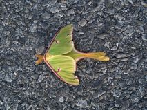 Luna Moth. On full display of its stunning mint green & pink colors along with the intricate art on its wing stock photos