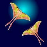 Luna Moth hermosa Foto de archivo