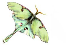 Luna Moth Illustration Royalty Free Stock Photo