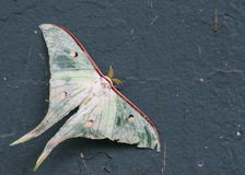 Luna moth injury. Close up royalty free stock photography