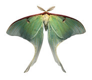 Free Luna Moth Is A Rare And Beautiful Sight Royalty Free Stock Images - 1658639
