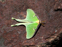 Luna moth Royalty Free Stock Photos