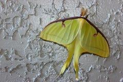 Luna Moth & x28; Luna& x29 del Actias; fotografie stock libere da diritti