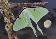 Luna moth in moonlight. A Luna moth is shown sitting on a branch on a moonlit night Stock Images