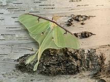 Luna Moth. A Luna moth on a paper birch tree trunk royalty free stock photos