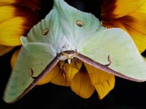 Luna Moth Perched On A Sunflower stock photo