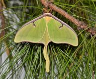 Luna Moth in a pine tree. A large Luna Moth (Actias luna) at rest in a clump of pine needles. They are found in North America and have a wingspan of 4 royalty free stock image