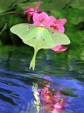 Luna Moth Reflection. A beautiful Luna Moth (Actias luna) at pink orchids with its reflection in a quiet stream Royalty Free Stock Photos