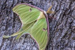 Luna Moth sits on the side of a tree. Luna Moth, a beautiful light green moth stock photos