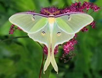 Luna Moth at Spirea Flowers. A beautiful Luna moth at purple spirea flowers royalty free stock images