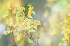 The Luna Moth. In spring royalty free stock photo