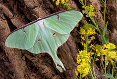 Luna moth on tree 2. A Luna moth is perched on the side of a tree Stock Image