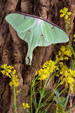Luna Moth on Tree. A luna moth is perched on the side of a tree Royalty Free Stock Photography