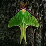 Luna Moth. A Luna moth on a tree at dusk royalty free stock image