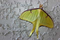 Luna Moth u. x28; Actias luna& x29; Lizenzfreie Stockfotos