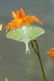 Luna Moth verde bonita senta-se em um dia lilly imagem de stock royalty free