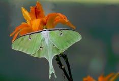 Luna Moth verde bonita senta-se em um dia lilly fotografia de stock royalty free