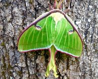 Luna Moth verde que senta-se em uma árvore Foto de Stock