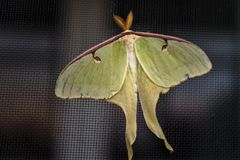 Luna Moth. Yellow green Luna moth on window screen. Summer evening beauty showing it`s presents stock image