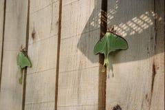 Luna Moths Foto de archivo